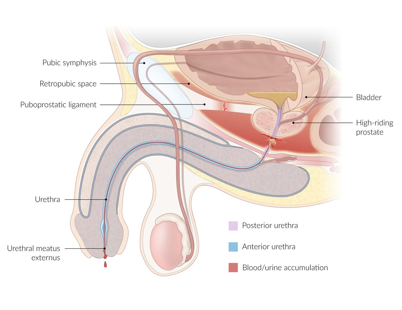 Structure of Urethra